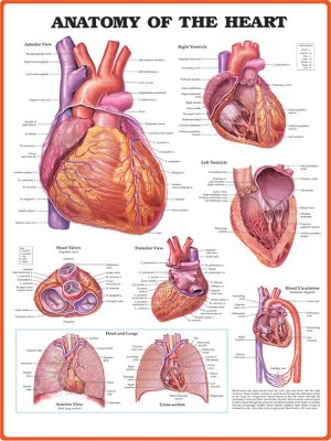 پوستر Anatomy of The Heart